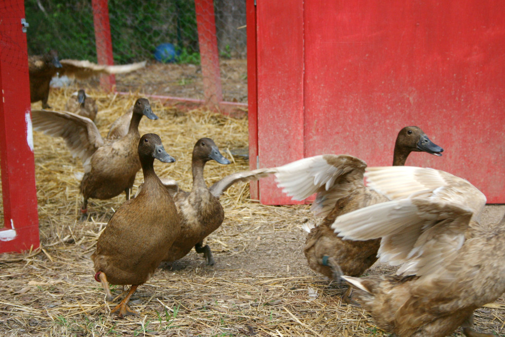 the ducks emerging from their pen, March 2004