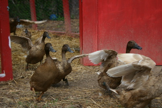 ducks emerge from their pen